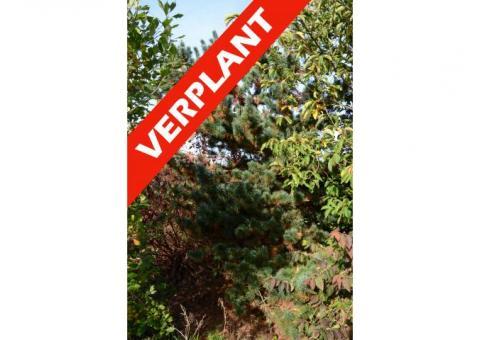 Pinus zebrina